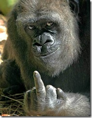 gorilla-middle-finger